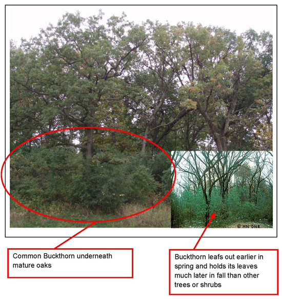 Buckthorn general appearance